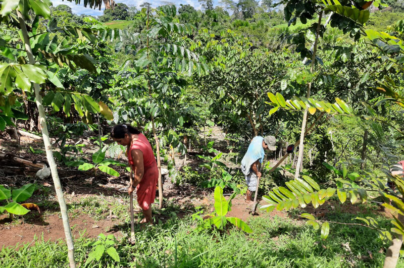 Amazone Agroforestry Project